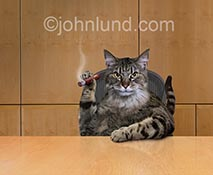 A fat cat smokes a cigar in a corporate board room in this funny cat parody stock photo of corporate politics.