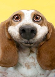 A cut big eyed smiling basset hound photo for use in humorous greeting cards and stock photos.
