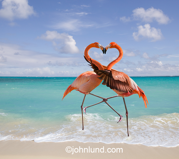 Two flamingos interlock their legs in the warm shallow waters of a tropical beach in a stock photo about love, romance and affection.