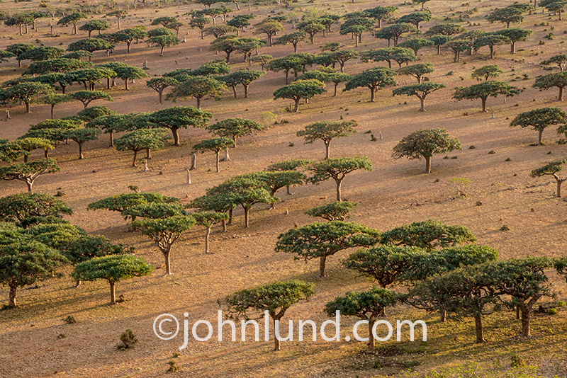 A Frankincense forest stretches out on a plain in the Homhil protected area of Socotra island off the coast of Yemen.