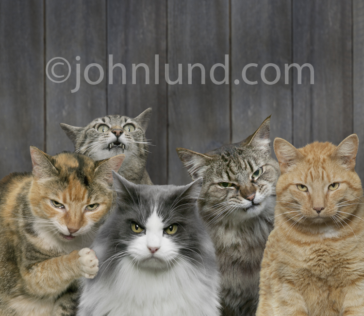 Funny picture of five angry cats looking mean while standing in front of a fence. These are bad cats, not cool cats, in a stock photo. Mad cat pics for ads.