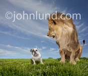 A scowling lion looks down angrily at a cowering bulldog on a grassy expanse in a lol funny animal picture.