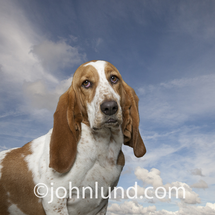 Portrait of a sad-eyed and very funny Basset Hound looking right into the eyes of the viewer with a lightly clouded blue sky in the background.