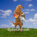 Funny animal and stock picture of a Golden retriever hiding a gift of flowers from his beloved Basset Hound girl friend.
