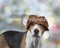 A beagle looks at the viewer with his ears folded over his forehead just above his eyes in a funny dog photo.