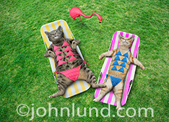 Funny cats in bikinis are featured in this humorous image of two cats on lounge chairs wearing bathing suits with multiple bikini tops. The image was created for funny greeting cards and stock photo uses.