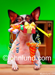 Funny animal stock photo of  a cute little Chihuahua with his mouth chock full of birthday gifts and party supplies.