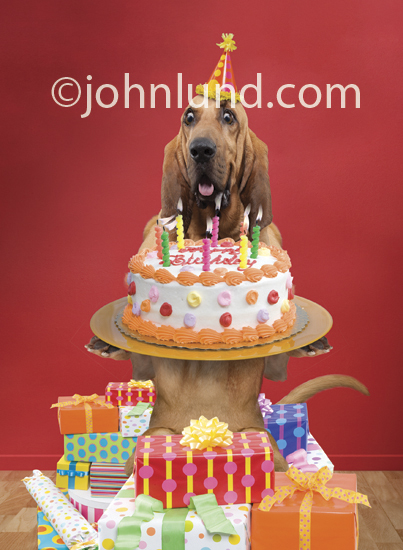 Funny picture of a Bloodhound wearing a birthday hat, holding a birthday cake with candles and standing in a pile of gifts.