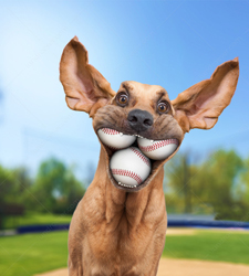 An excited Bloodhound has three baseballs in his mouth.