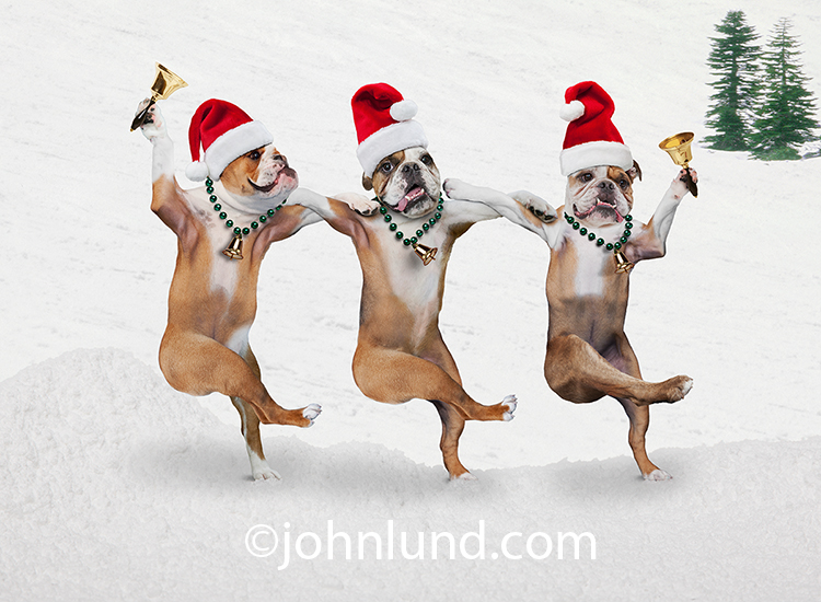 """Jinglebulls"" might be the humorous headline for this funny Christmas photo of three English bulldogs with Santa Hats and ornament necklaces dancing together while they ring holiday bells."
