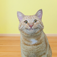 A funny cat gives a half smile and shows his fangs in a humorous cat stock photo.