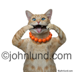 Funny animal stock photo of a cat making a face using its paws to pull on its cheeks. This blue eyed orange tabby sticking it's tongue out at the camera.