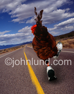 Funny picture of a chicken, not crossing the road, but running down it while wearing running shoes.