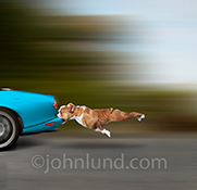 Do dogs ever really expect to catch the cars they chase? This hapless bulldog has a car by the bumper...at speed...and doesn't what to do next in a humorous pet stock photo that shows the importance of having an exit strategy!