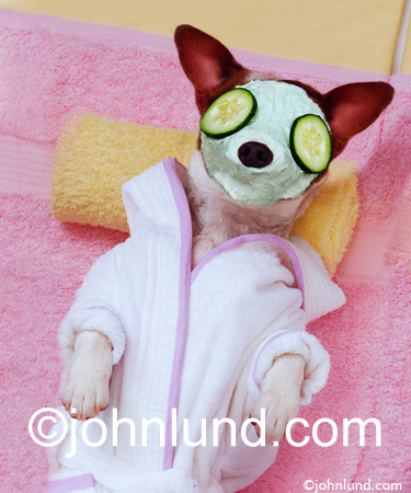 Picture of a Jack Russel terrier getting a facial at a luxury spa resort hotel. The Jack Russel is on a pink towel. This is a greeting card.