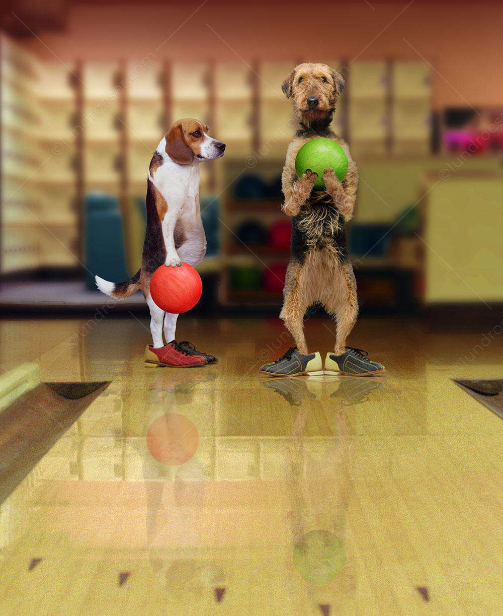 Bowling Dogs - Funny animal and stock photo of two dogs, an Airdale and a Beagle, bowling and wearing bowling shoes. Funny Greeting Card.