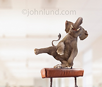 An elephant performs on the pommel horse in a funny elephant image from our collection of anthropomorphic elephants.