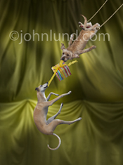 A Greyhound and a mutt perform on the flying trapeze in this funny pet picture created for a humorous greeting card.