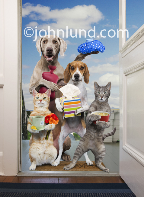 A Weimaraner, and Beagle join two cats at the door with gifts and get well wishes in a funny pet picture.