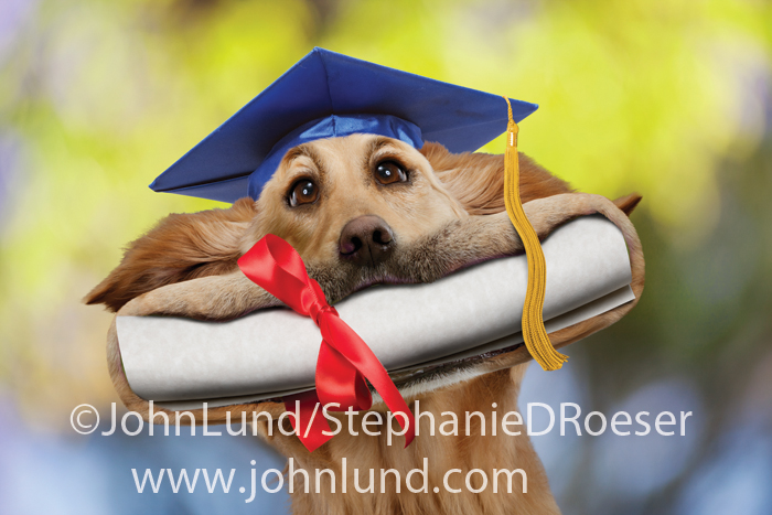 Funny greeting card (graduation) picture of a Golden Retriever with his mouth stretched wide from a diploma. This happy dog is wearing a mortar board.