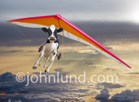 A Holstein cow hang glides at a very high altitude in this funny, lol cattle picture.