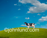 Classic funny picture of a contented black and white Holstein cow standing proudly on a hill of green grass and surveying the distance. A happy California cow perhaps. Picture of a Holstein cow.