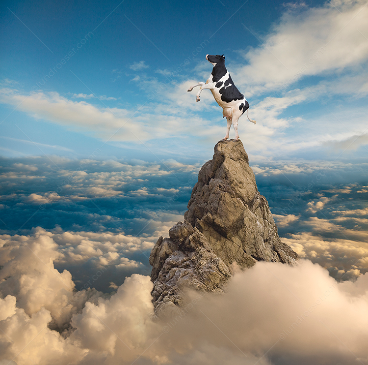 A funny Holstein cow rears up on top of a mountain peak in a humorous stock photo about possibilities, leadership, and success.