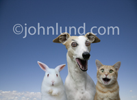 A bunny, a dog (Whippet) and a cat (Orange Tabby) all stare together at the camera with funny, happy expressions.