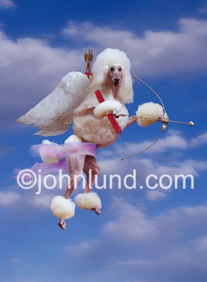 A Poodle version of Cupid holds a golden bow and arrows as he flies on wings through the sky seeking targets of love.