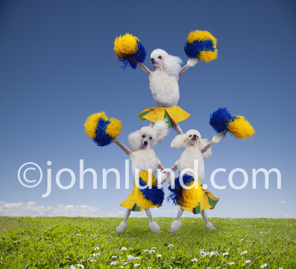 Three funny poodles with pom poms form a pyramid to show their spirit and enthusiasm in this lol pet picture.