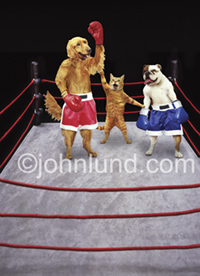 Funny dog picture of a Golden Retriever and a bulldog in a boxing ring refereed by a cat in a more civilized kind of dog fight!