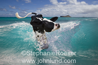 Funny picture of a Holstein cow surfing off a Hawaiian beach (Oahu), and looking rather concerned!