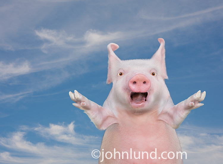 This funny, surprised pig photo makes a great visual exclamation point for all kinds of concepts ranging from surprise announcements to agricutural and livestock products and services.