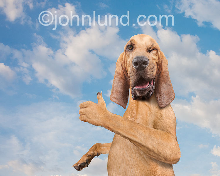 This funny Bloodhound image shows the canine gesturing with a thumbs up and a wink as he shares a moment with the viewer in a stock photo and humorous greeting card image.