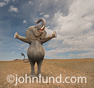 A funny elephant stretches out his arms perhaps demnonstrating the extreme size of some unseen person, place or thing in a concept stock photo.