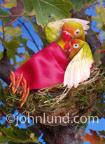 Funny animal picture and stock photo of two love birds cuddling in their nest with a blanket. The birds are green, red, and white with a bright red blanket in their nest in the top of a tree.