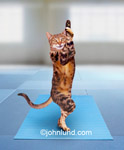 Funny animal picture and stock photo of a cat in the Eagle pose on his mat in a yoga studio. Funny cat doing a difficult yoga excercise -  The Yoga Tree Pose.