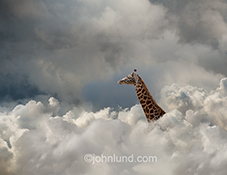 A giraffe's head rises up out of a cloudscape in a stock photo about opportunities and challenges in cloud computing and the Internet.