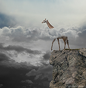 A Giraffe is about to step off the edge of a cliff that it does not see because its head is above a low-lying cloud cover in a photo about failure to see the big picture and lack of awareness.