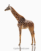 In this stock photo a giraffe stands on a white background in a simple and graphic image that can be used to refer to such concepts as vision for which the tall animals are noted.