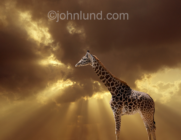 A giraffe stands tall agsint a God Ray sunset sky in an image about the future of wildlife and the environment.