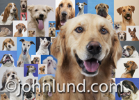 A Golden Retriever portrait is overlayed on top of a background of pictures of various dog breeds. In the background are photos of other breeds like bulldogs, terriers, shepards and mixed breed dogs.