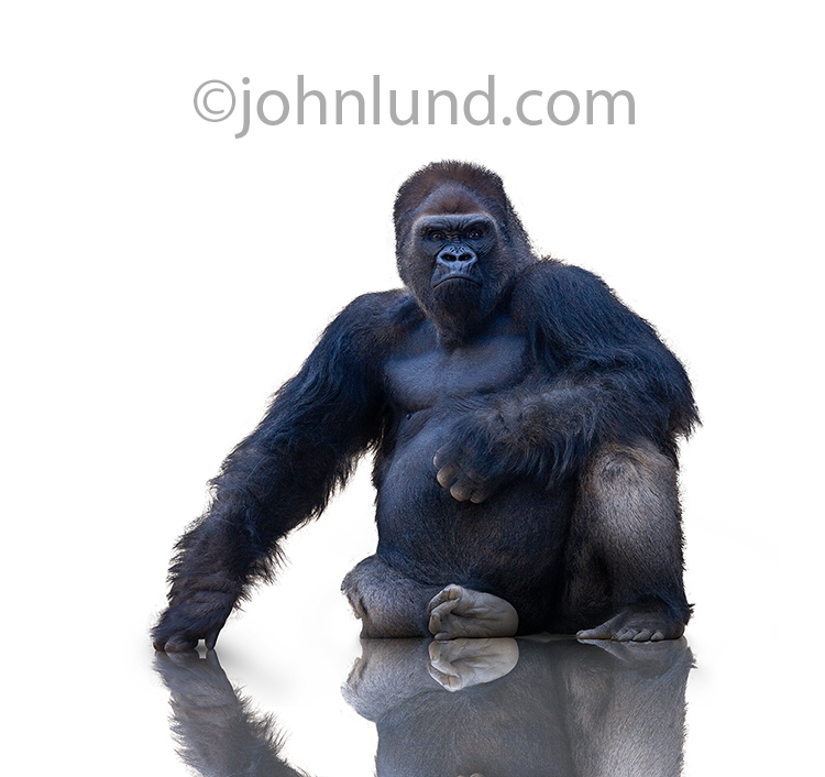 A gorilla sits on a white background and looks directly at the viewer in this stock photo.