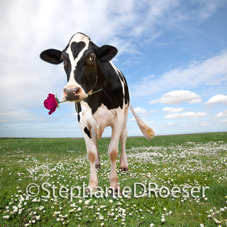 Cow holding a red rose, and with a heart shaped patch of fur on it's forehead while it stands in a green pasture with scattered daisies and with a lightly clouded summer cloud overhead.