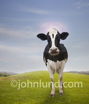 A Holstein cow stands in the grass looking at the camera and wearing a halo above her head in a funny cow photo.