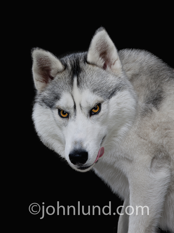 A hungry wolf licks its chops and looks with a sinister gaze directly into the camera in this humorous wolf picture.