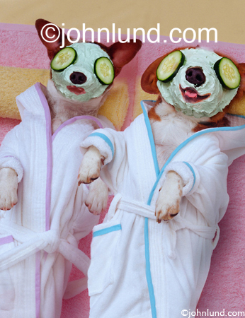 Funny pet pictures of two Jack Russell Terrier dogs getting facials and beauty treatments in a spa while wearing white bath robes.