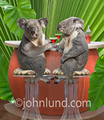 Two funny Koala bears enjoy cocktails at a Tiki bar in a humorous stock photo and greeting card image.