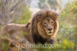 A lion peers through the bush towards the viewer in a stock photo of the King of Beasts.