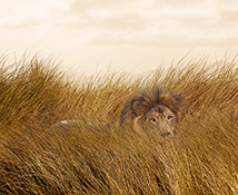 A lion's eyes are seen through the tall grass as he stalks his prey in a stock photo business metaphor about danger, risk, and dominance.